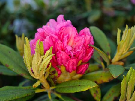 Buds of Rhododendron or Azalea or Shakunage