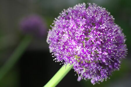 Closeup of Allium giganteum Regel or giant onion or al onion at dawn 写真素材