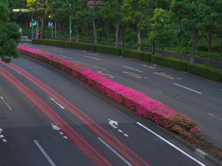 Tokyo, Japan-May 23, 2020: Azalea in full bloom at center divider at dawn in Tokyo