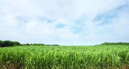 Sugar cane field in Shimojishima island, Okinawa, Japan
