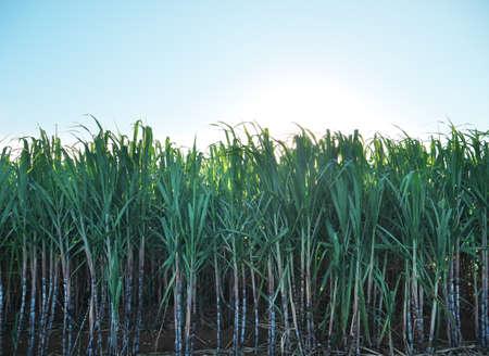 Sugar cane field in Miyakojima island, Okinawa, Japan Banco de Imagens