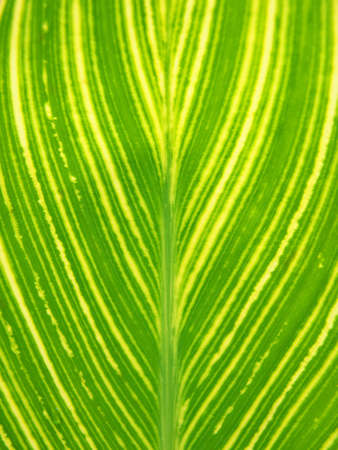 Tokyo,Japan-July 5, 2020: Closeup of beautiful Leaf Vein