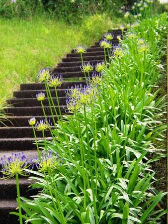 Tokyo,Japan-July 5, 2020: Agapanthus or African Lily (Cape blue lily) flowers along stairs in Tokyo Banco de Imagens