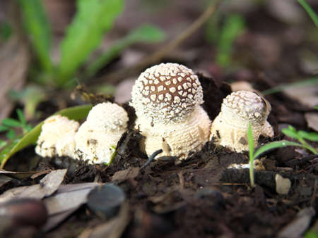 Tokyo,Japan-July 5, 2020: Four small Amanita pantherina just appeared at the surface of the ground