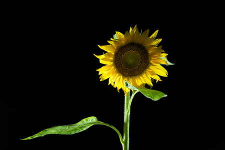 A Sunflower on black background in the night