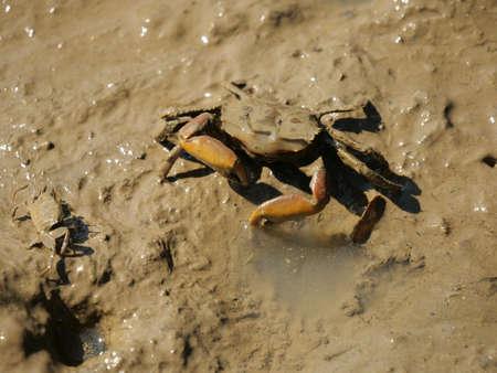 Okinawa,Japan-October 26, 2020: Crabs on mud at Shimajiri mangrove forest in Miyakojima island 写真素材