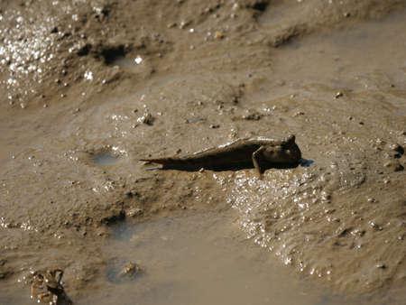 Okinawa,Japan-October 26, 2020: Barred Mudskipper on mud at Shimajiri mangrove forest in Miyakojima island