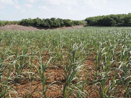 Seedling or sapling of sugar cane in Miyakojima island, Okinawa