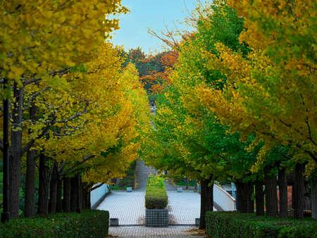 Tokyo,Japan-November 13, 2020: Beautiful Ginkgo tree street in Tokyo