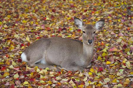 Nara,Japan-November 17,2020: A deer resting on autumn leaves at Nara Park, Nara 写真素材