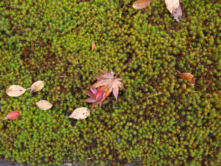 Kyoto,Japan-November 20,2020: Wet autumn leaves on moss in the rain