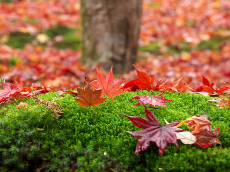 Kyoto,Japan-November 20,2020: Wet autumn leaves stacked near a tree in the rain 写真素材