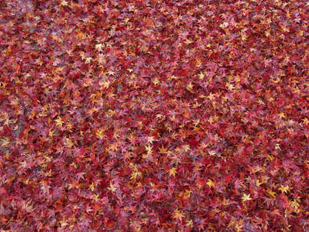 Kyoto,Japan-November 20,2020: Stacked Wet autumn leaves in the rain 写真素材