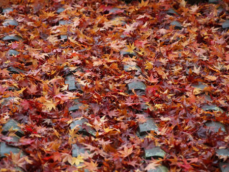 Kyoto,Japan-November 20,2020: Wet autumn leaves stacked on a roof in the rain 写真素材