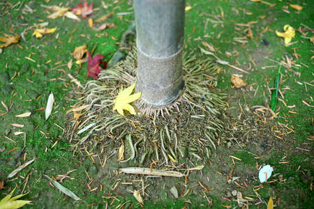 Kyoto,Japan-November 22,2020: Autumn leaves stacked around bamboo tree
