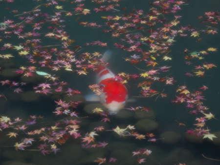 Kyoto,Japan-November 23,2020: A carp in a pond 写真素材