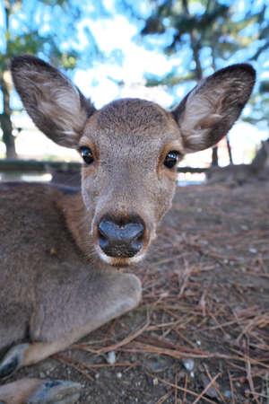 Nara,Japan-November 17,2020: Closeup of a deer resting on stacked autumn leaves at Nara Park, Nara
