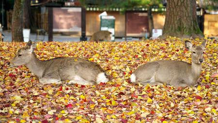 Nara,Japan-November 17,2020: Closeup of two deers resting on stacked autumn leaves at Nara Park, Nara