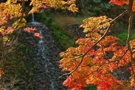 Nara,Japan-November 16, 2020: Maple tree with a small waterfall background