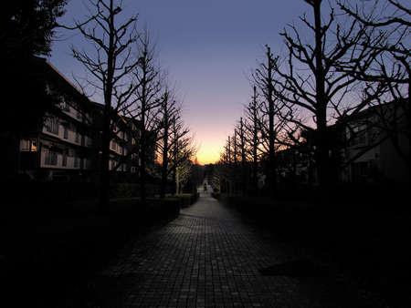 Leafless ginkgo tree street at dawn in winter 写真素材