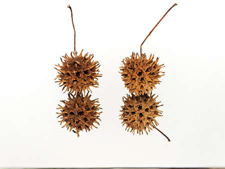 Closeup of American sweetgum nuts on white background