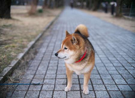 Shiba inu or brushwood dog