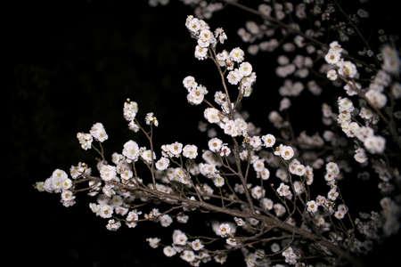 Japanese white ume plum blossoms at dawn