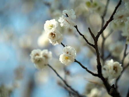 Tokyo,Japan-February 21, 2021: Japanese white ume plum blossoms on blue sky background