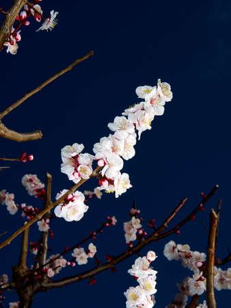 Tokyo,Japan-February 25, 2021: Japanese white ume plum blossoms on blue background