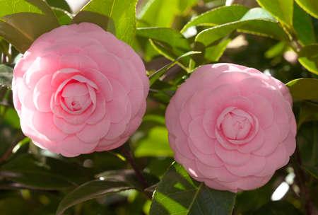 Tokyo,Japan-March 3, 2021: Closeup of pink Camellia sasanqua