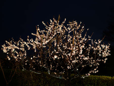Tokyo,Japan-March 6, 2021: Japanese white ume plum blossoms after the rain at dawn