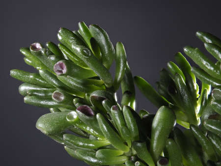 Closeup of Crassula Ovata-Gollum Jade