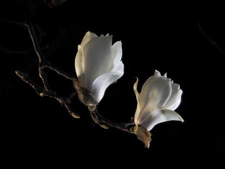 Tokyo,Japan-March 10, 2021: Buds of white magnolia or Haku-mokuren in the night