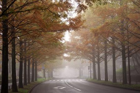 Foggy Metasequoia glyptostroboides street in autumn in Tokyo