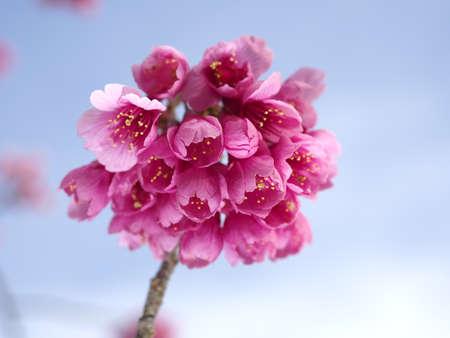 Hikan cherry blossoms or Prunus campanulata on blue sky background