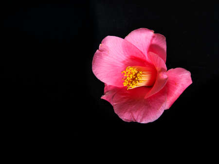 Closeup of red camellia on black background 写真素材