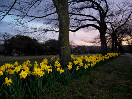 Tokyo,Japan-March 16,2021: Group of Yellow Narcissus flower in full bloom at dawn 写真素材
