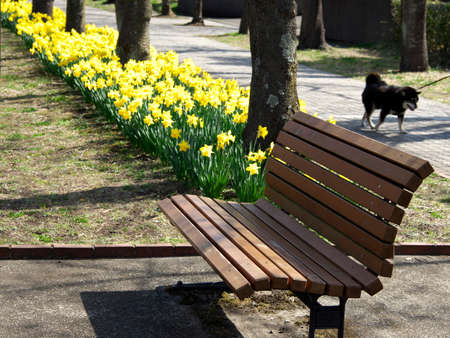 Tokyo,Japan-March 18,2021: Yellow Narcissus flower in full bloom in a park