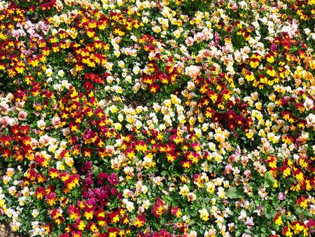 Tokyo,Japan-March 20,2021: Viola flowers in a garden in Japan