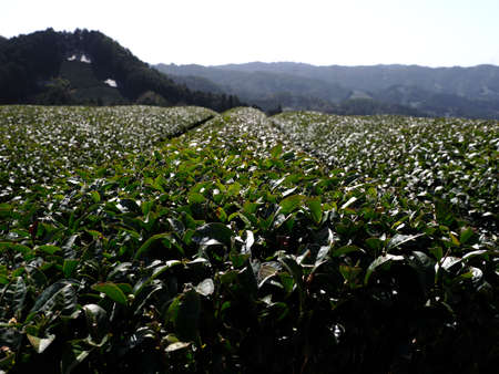 Kyoto,Japan-March 31, 2021: Tea field in spring at Waduka, Kyoto 写真素材 - 167125122