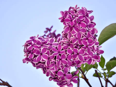 Tokyo,Japan-April 20, 2021: Pink Syringa Common or Lilac French or Lilac on blue sky background Фото со стока