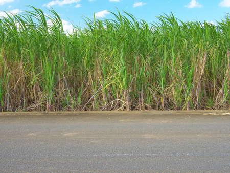 Okinawa,Japan-October 26, 2020: Sugar cane field in Miyakojima island, Okinawa