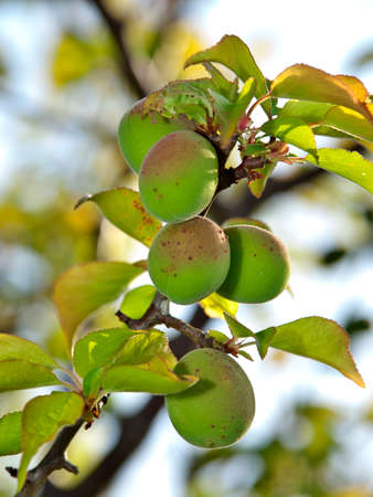 Closeup of Ume fruit or Japanese apricot