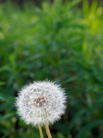 Dandelion puff or parachute ball in a garden