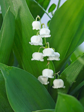 Closeup of Lily of the valley or Convallaria majalis