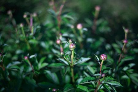 Buds of peony in a garden in Japan Фото со стока