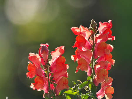Closeup of beautiful snapdragon flower in the sun