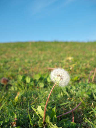 Dandelion puff or parachute ball near a hill