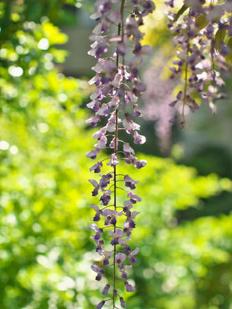 Purple wisteria flower in spring