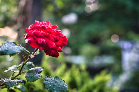 Tokyo,Japan-May 8, 2021: Closeup of red roses -- Breed Fruite